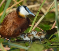 Male African Jacana with small chicks