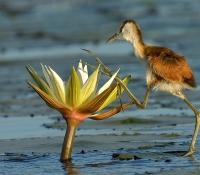 African Jacana chick