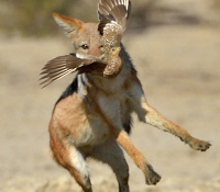 Jackal with sand grouse