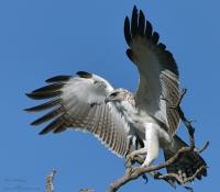 Sub-adult Martial Eagle