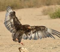 Juvenile Bateleur landing