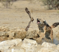 Jackal chasing sand grouse