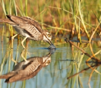 water-thick-knee-drinking