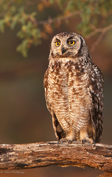 spotted-eagle-owl-adult-portrait