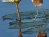 African Jacana chick looking for insects