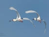 African Spoonbill in flight