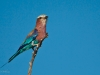lilac-brested-roller-on-branch