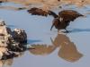 Hamerkop feeding