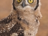 Spotted Eagle-Owl chick
