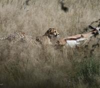 cheetah-kill15