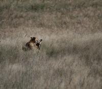 cheetah-kill16