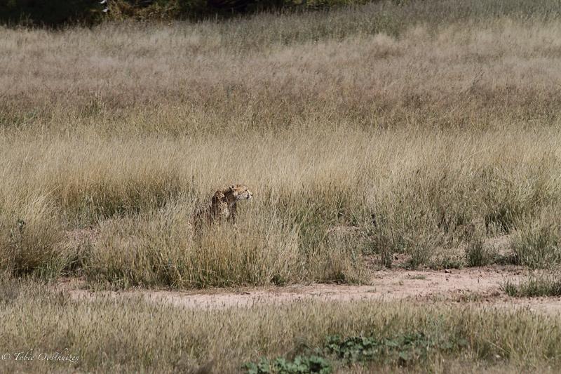 cheetah-kill1