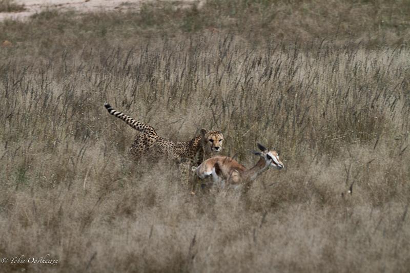 cheetah-kill13