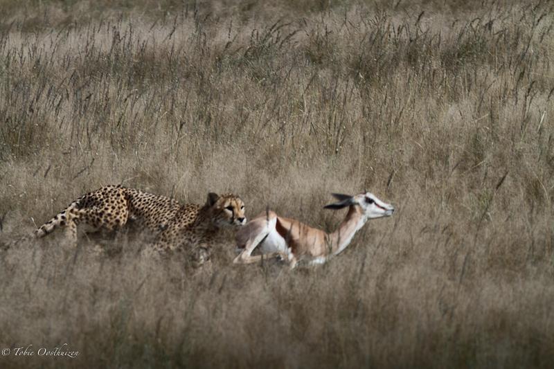 cheetah-kill14