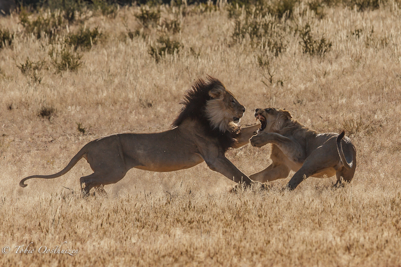 Lion fight in Kgalagadi