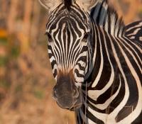 zebra-face