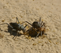 Armoured cricket