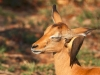 impala-young-with-oxpecker