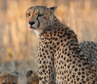 cheetah-female-with-carcass
