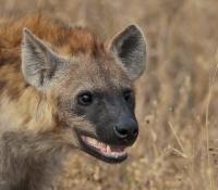 hyena-grin
