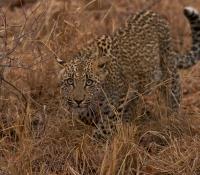 leopard-cub
