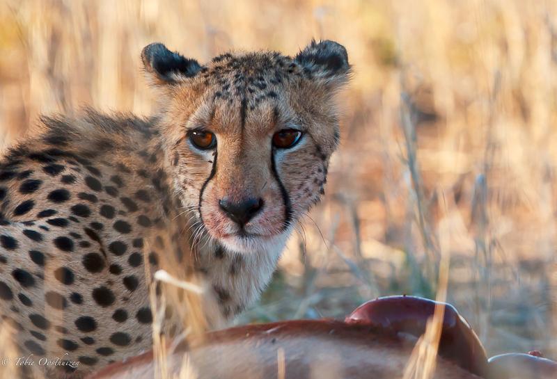 cheetah-with-prey