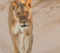 lion-female-walking-in-road