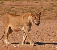 lion-female
