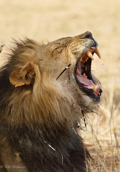 Lion Porcupine Quills Wildlife On Show
