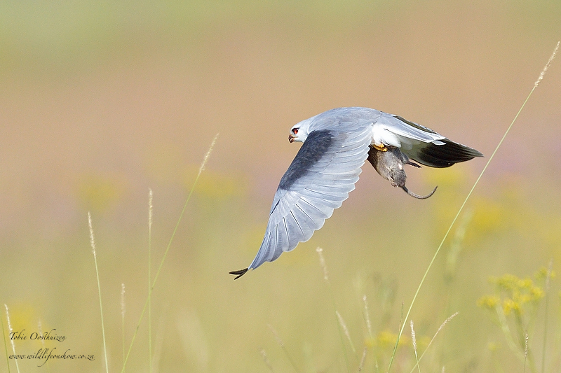 Black Shouldered Kite with snack