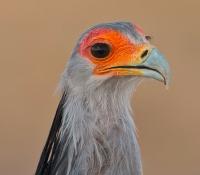 secretary-bird-blushing