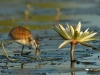 African Jacana chick eating insect