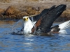African Fish Eagle bathing