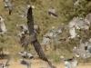 Lanner Falcon chasing doves