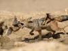 Jackal chasing sand grouse