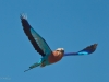 lilac-breasted-roller-in-flight