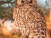 spotted-eagle-owl-adult