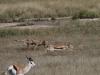 cheetah-kill11