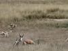 cheetah-kill9