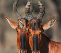 red-hartebeest-due-profile-2