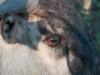 blouwildebeest-eye