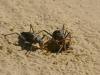 Armoured cricket