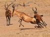 red-hartebeest-playing