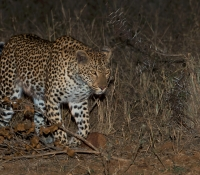 leopard-at-elephant-plains
