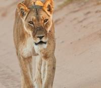 lion-female-walking-in-road
