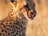 cheetah-licking-lips