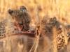 cheetah-young-feeding