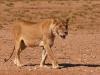 lion-female